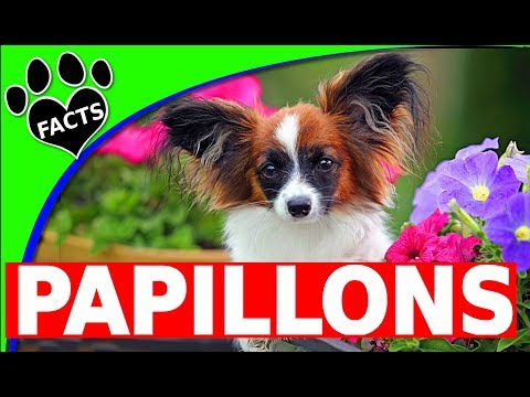 Dogs 101: Papillon - Interesting Papillon/Phalene Dog Fun Facts - Animal Facts