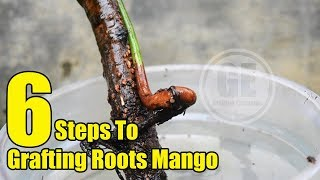 Mango Tree: 6 Steps To Grafting Roots
