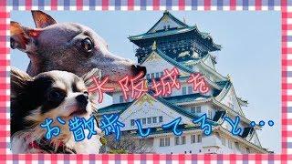 大阪城のまわりをお散歩! そして天守閣へ! が、そこでイタグレのボナ...