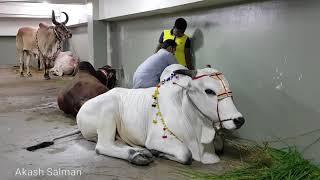 Big bull Qurbani in Dhaka Bangladesh. The biggest qurbani cows of GRAMSICO, DHAKA BANGLADESH.