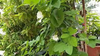 सफेद फूल की अपराजिता जिसका प्रयोग भगवान राम ने भी किया था ।