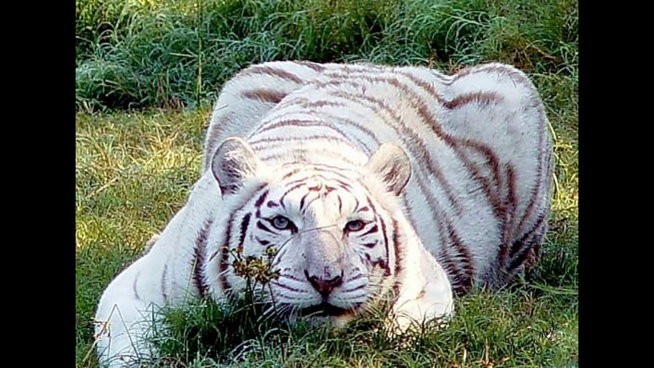The biggest tiger in the world - what is it