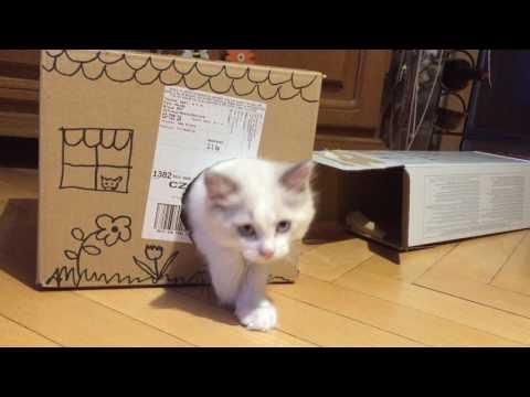 Ragdoll Cat Eby