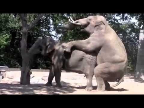 Как спариваются слоны видео смотреть
