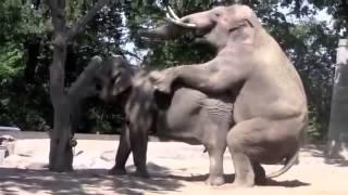 Спариваются слоны