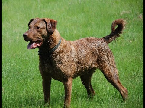 Chesapeake Bay Retriever - Dog Breed