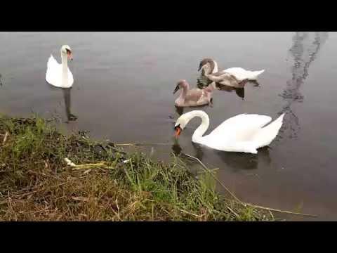Bチームヒナ7羽並んで鳥の餌に夢中親見守り�0708 手賀発作橋下流十町のハクチョウ白鳥スワンSWANS