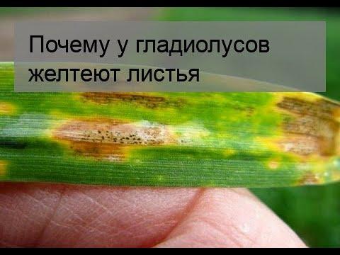 Почему у гладиолусов желтеют листья