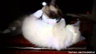 Коте зализал своего котенка