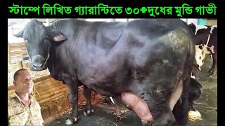স্টাম্পে লিখিত গ্যারান্টিতে ৩০+ দুধের মুন্ডি গরু কিনুন | সরাসরি দুধ দহন করে নিন | Monower dairy farm
