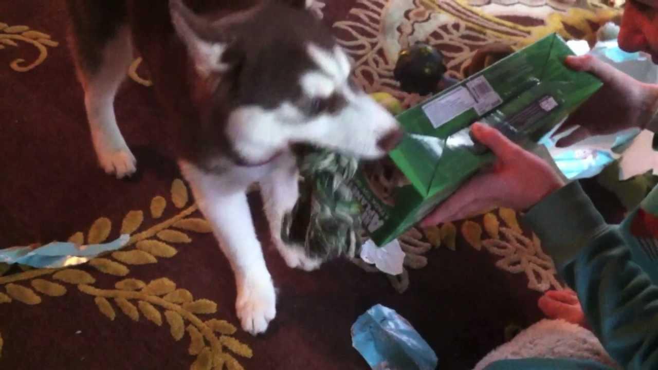 Husky Christmas Puppy.Husky Pup Opens Christmas Presents