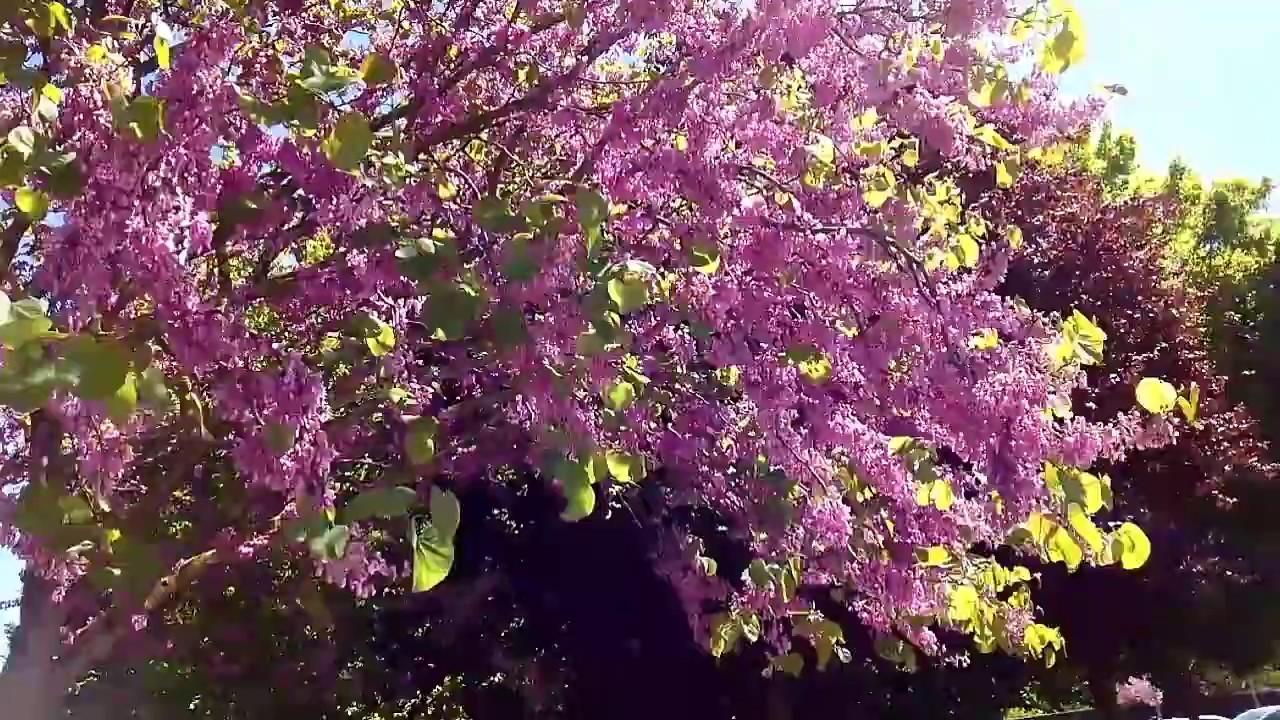 Arbol Del Amor Tree Love Arbre De Judee Judas Tree Arbol De Judas Cercis Siliquastrum