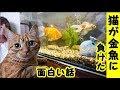 👀【猫 面白】うちの猫が金魚に負けたのを見て情けなくて泣いた・招き猫ちゃんねる