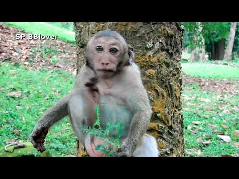 Chimo Play So Bad - SP BBlover - Big Monkey Funny With Young