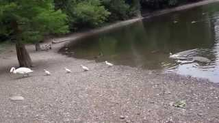 Лебеди на пруду возле дома Томаса Андерса. Германия. Кобленц. 16.06.2014г.