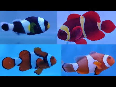 Twelve Types Of Clown Fish