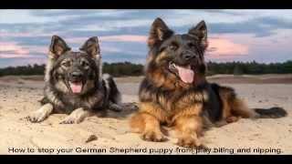 German Shepherd Puppies Houston Guide