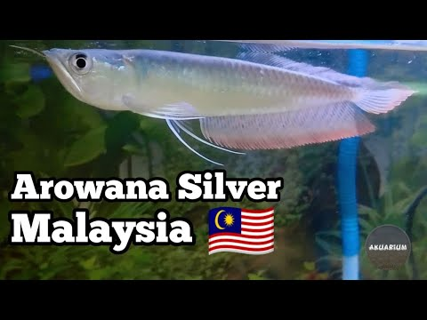 Arowana Silver Malaysia
