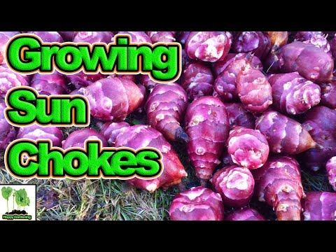 How To Grow Jerusalem Artichokes / Sun Chokes