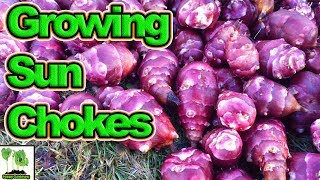 How To Grow Jerusalem Artichokes / Sun Chokes