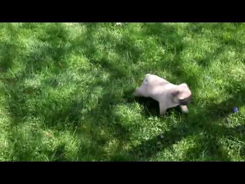 Mini Pug Puppies For Sale