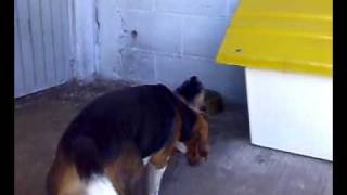 Beagle Vs Yorkshire