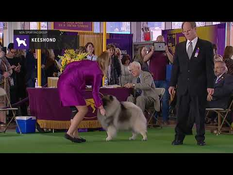Keeshonden | Breed Judging 2019