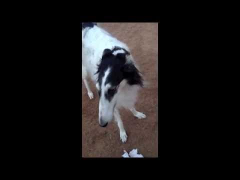 Arturo Borzoi Playing ...