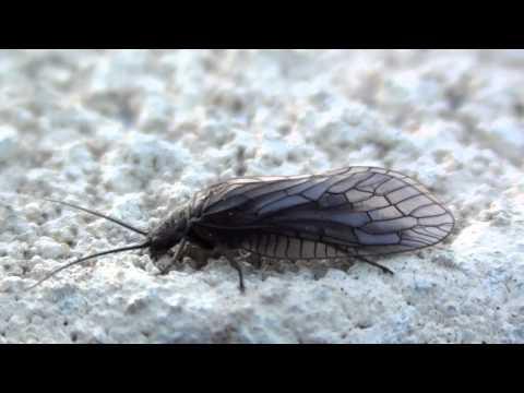 Alderfly (Sialidae: Sialis) Adult