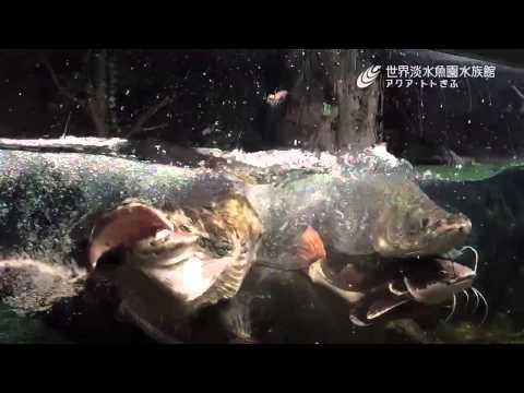 ピラルクー捕食(スロー映像)