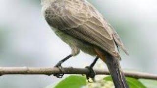 pikat burung kutilang hanya dua menit, langsung dapat