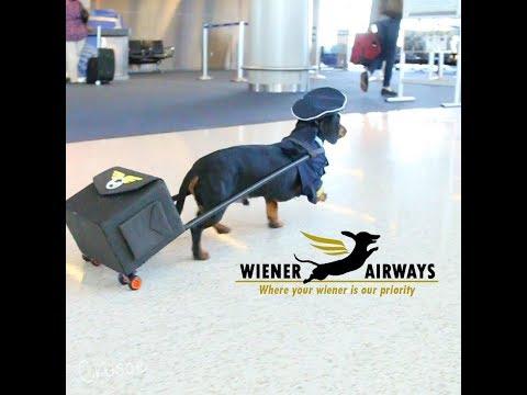 Fly Wiener Airways with Crusoe the Dachshund!