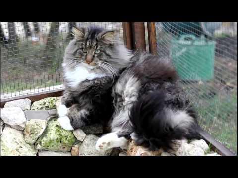 Old School Tree House - Norwegian Forest Cat