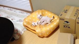 弟妹子猫「けん玉」洋室より和室がお好き? 元気で楽しそうな2匹 thumbnail