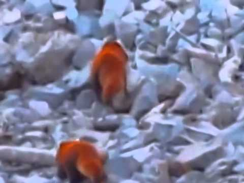 First ever wild footage of red pandas in Myanmar