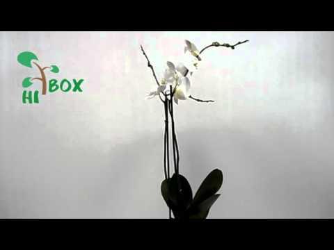 Орхидея Фаленопсис белый. Видео обзор ХайБокс