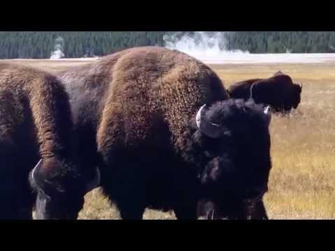 Growling Bison in Yellowstone National Park