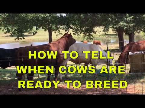 how-to-tell-when-cows-are-ready-to-breed