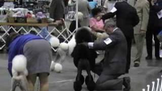Standard Poodle Best Of Variety - Columbia Poodle Club Specialty