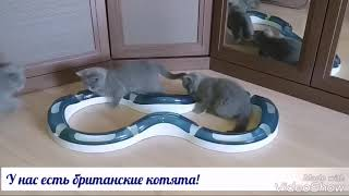 Британские котята играют. Помёт Н. 2 месяца.