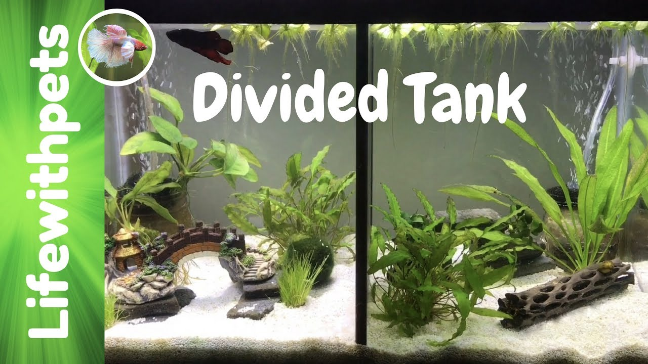Divided betta fish tanks youtube for Divided fish tank