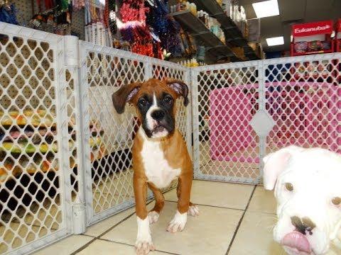 Boxer, Puppies, Dogs, For Sale, In Birmingham, Alabama, AL, 19Breeders, Huntsville, Dothan - YouTube