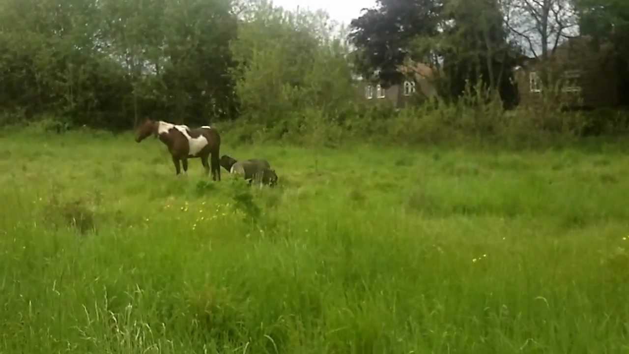 Neapolitan Mastiff Vs Horse | www.pixshark.com - Images ...