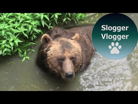 Grizzly Bear Enjoys Swamp Water Playtime
