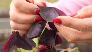 Cultivarea trifoiului mov