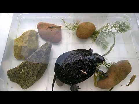 Вопрос: Почему декоративная черепаха пытается постоянно выползти из аквариума?