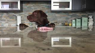 Собака смешно достает еду со стола. Прикол. Животные