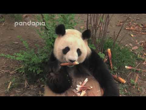 Panda Yuan Yuan eats bamboo shoots