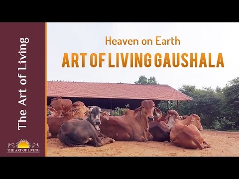 Sri Sri Gaushala, a Heaven on Earth for Cows || Best Gaushala in the World - Art of Living