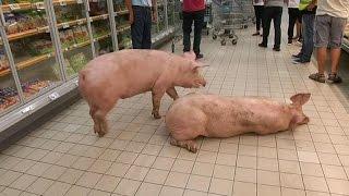 Lot-et-Garonne: des cochons se baladent dans un supermarché